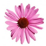 Echinacea And Its Many Benefits